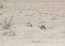Szakale w Namibia Obraz Stock