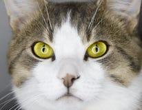 Żółci kotów oczy Zdjęcie Stock