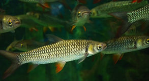 Szalenie karp, sułtan ryba Zdjęcie Stock