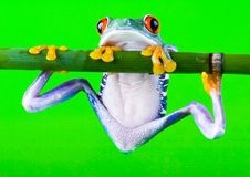 szalona żaba Obrazy Stock