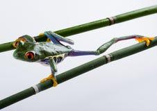 szalona żaba Zdjęcie Stock