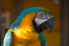 szalona papuga Fotografia Royalty Free
