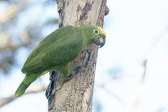 szalona papuga Obrazy Stock