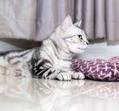 Szalony śmieszny Amerykański shorthair kot z koloru żółtego protrudi i oczami Fotografia Stock