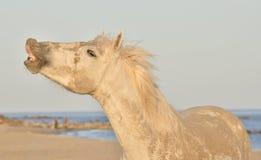 Szalony białego konia śmieszny portret Zdjęcia Royalty Free