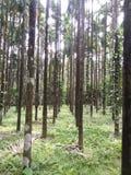 Szalunków drzewa Zdjęcie Stock