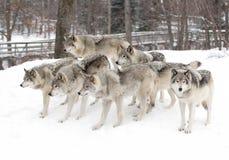 Szalunków wilki czeka karmiącym Zdjęcia Stock