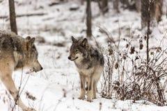Szalunków wilki przy sztuką w zimie Obrazy Royalty Free