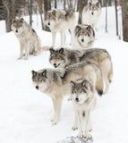 Szalunków wilki w białym śnieżnym tle Obrazy Royalty Free