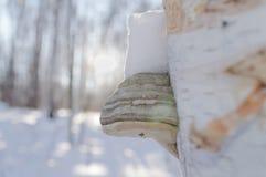 Szalunku grzyb zdjęcie stock