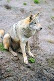 Szalunku Wilk (Canis lupus) Zdjęcia Royalty Free
