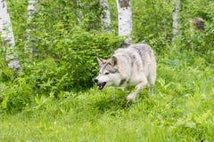 Szalunku wilk w wiosny postępować agresywny Fotografia Stock