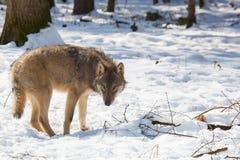 Szalunku wilk w zima lesie Obrazy Stock