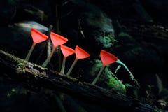 Szampan pieczarka w lesie tropikalnym obraz royalty free