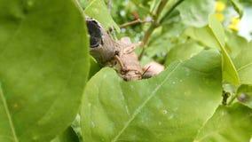 Szarańcza na rośliny łasowania liściu, zamyka up Pasikonik niszczy zielone flory, makro- zbiory