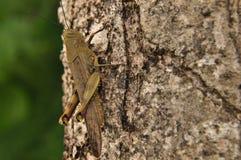 Szarańczy, insekta obsiadanie na drzewie w dżungli Zdjęcia Stock