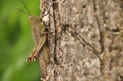 Szarańczy, insekta obsiadanie na drzewie w dżungli Indonezja Obraz Royalty Free