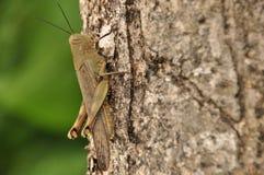 Szarańczy, insekta obsiadanie na drzewie w dżungli Indonezja, Zdjęcie Stock