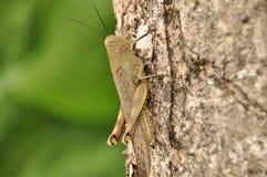 Szarańczy, insekta obsiadanie na drzewie w dżungli Indonezja Obraz Stock