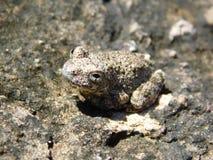 Szara żaba przeciw szaremu tłu zdjęcie royalty free