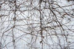 Szara betonowa ściana z kręconymi dżungla winogradami Zdjęcie Royalty Free