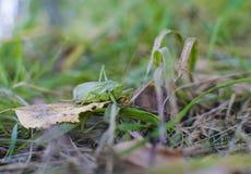 Szarańcza insekt Zdjęcia Stock