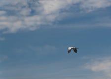 Szara czapla - migracja zim ćwiartki Obraz Royalty Free