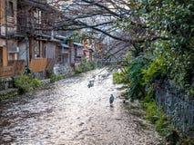 Szara czapla przy Gion rzeką fotografia stock