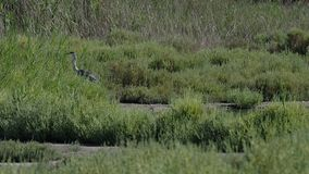 Szara czapla w trawie w 4k zbiory wideo