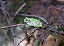 Szara drzewna żaba w Japońskim klonowym drzewie Obrazy Royalty Free