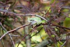 Szara drzewna żaba w Japońskim klonowym drzewie ja Obrazy Royalty Free