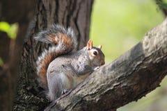 Szara drzewna wiewiórka Obraz Stock