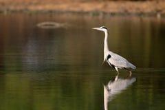 szara heron Fotografia Royalty Free