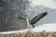 szara heron obraz royalty free