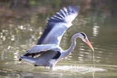 szara heron Fotografia Stock