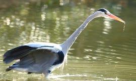szara heron Obrazy Royalty Free