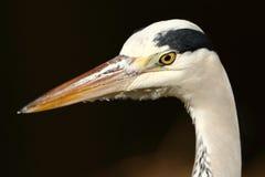 szara heron Zdjęcia Royalty Free