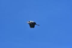 szara heron obrazy stock