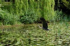 szara heron Zdjęcie Stock