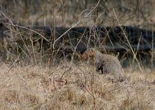 szara indyjska mangusta. Obrazy Stock