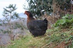 Szara karmazynka patrzeje dla jedzenia w rolnym jardzie kurczaki Bezpłatny pasmo kogut, karmazynki i fotografia royalty free