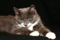 szara kitty Zdjęcia Royalty Free
