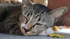 Szara kot połówka uśpiona zbiory