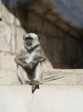 szara langur małpa Obrazy Royalty Free