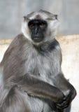 szara langur małpa Fotografia Royalty Free