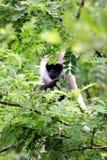 szara langur małpa Obraz Royalty Free