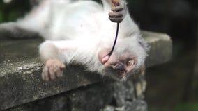 Szara makak małpa, Bali Ubud małpy las Małpa jest przyglądająca kamera kłama na plecy i je niektóre małych, zdjęcie wideo