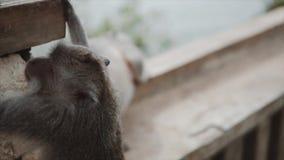 Szara makak małpa w dzikiej naturze w dżungli, Małpa climing na kamiennym ogrodzeniu, kamera jest zakończeniem wewnątrz zdjęcie wideo