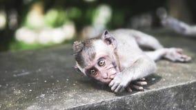 Szara makak małpa w dzikiej naturze w dżungli, Małpa jest przyglądająca z szerokimi rozpieczętowanymi oczami łasowanie i kamera zbiory