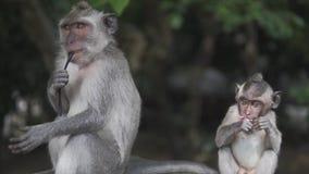 Szara makak małpa w dzikiej naturze w tropikalnej dżungli, Małpia rodzina i children jesteśmy przyglądający kamera zbiory